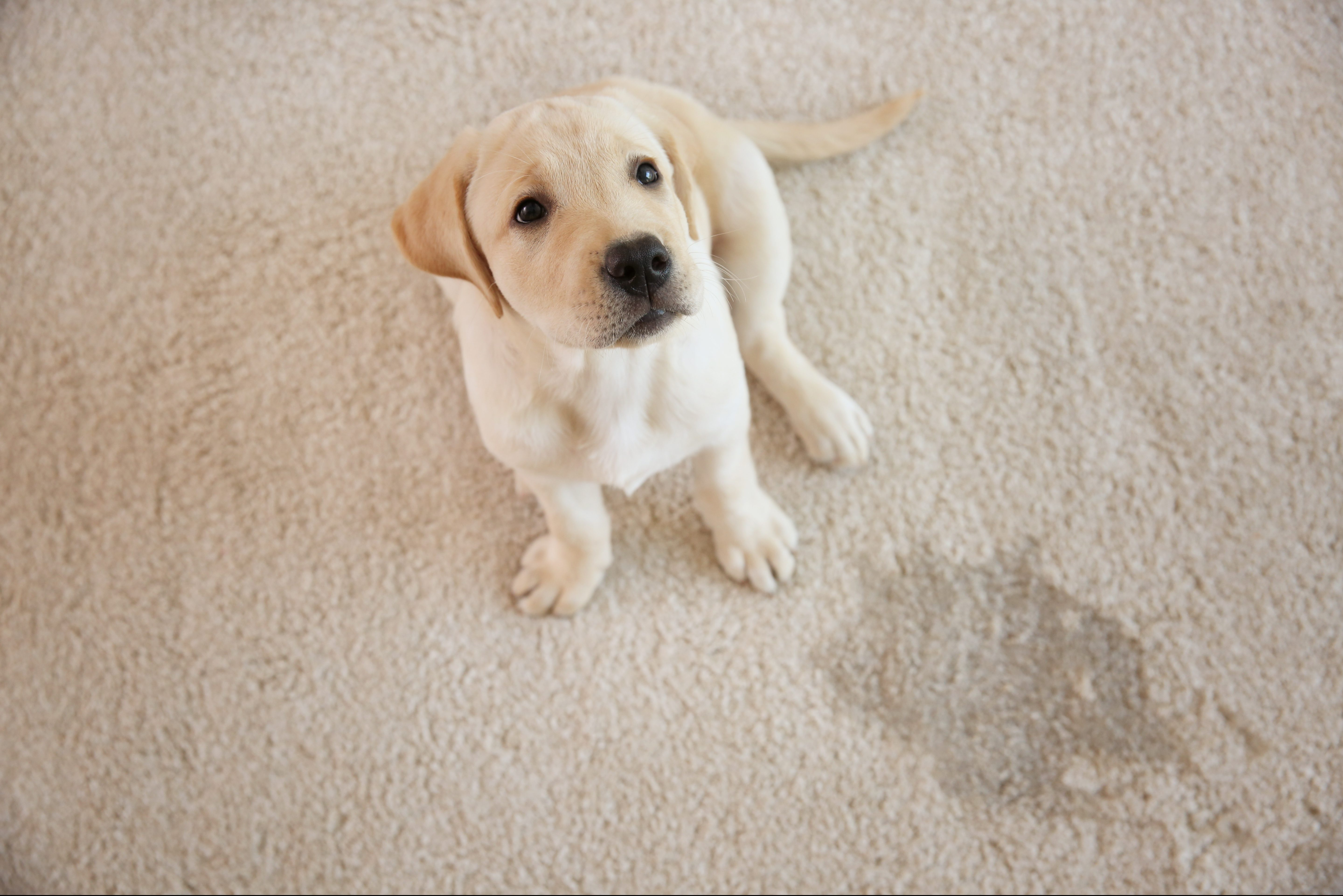 How to Remove the Pet Urine Smell From Your Carpets